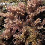 asparagopsistaxiform3_algaebase