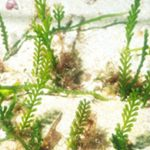 Caulerpa cylindracea (Kike Ballesteros)
