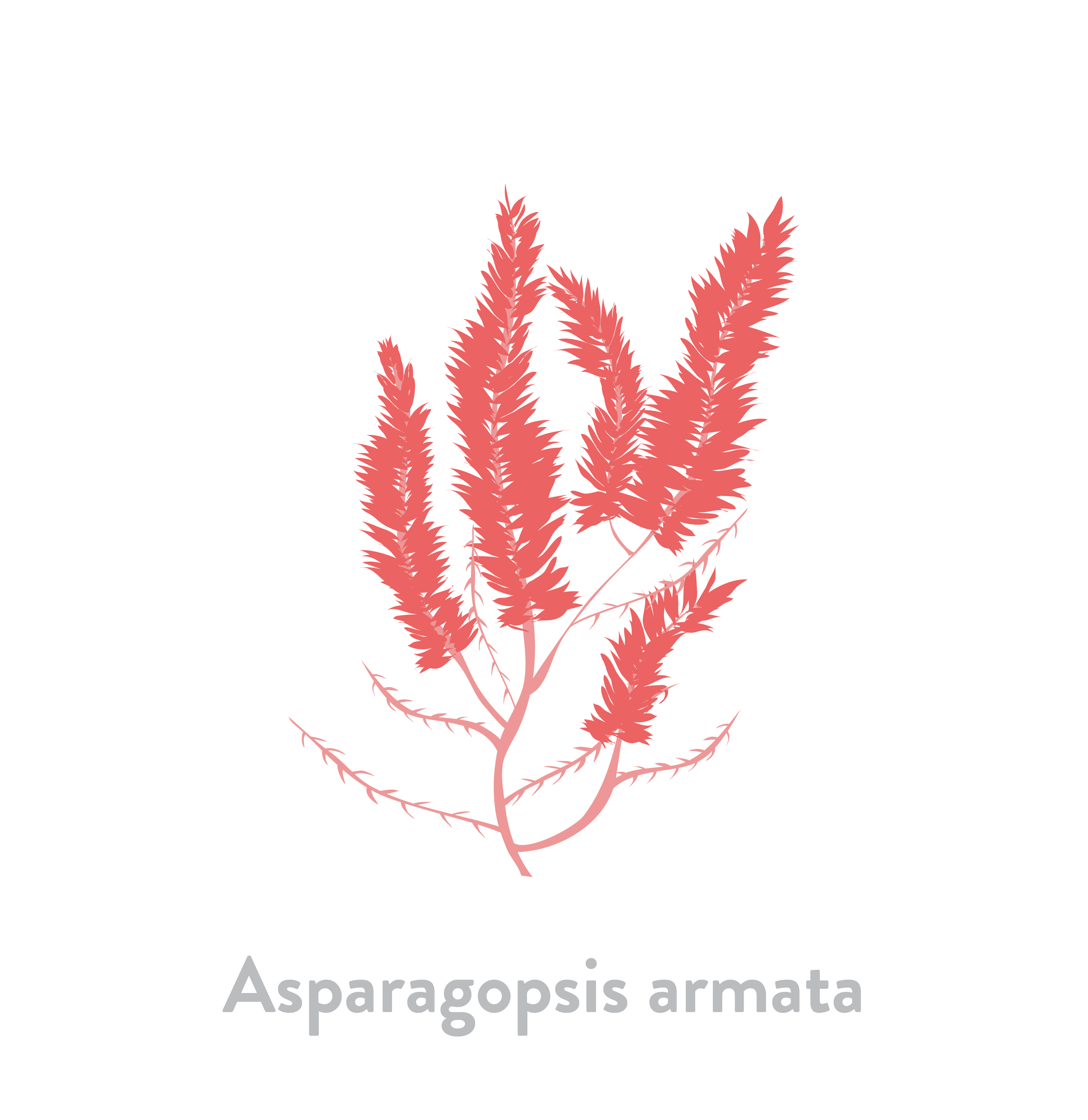 Asparagopsis armata
