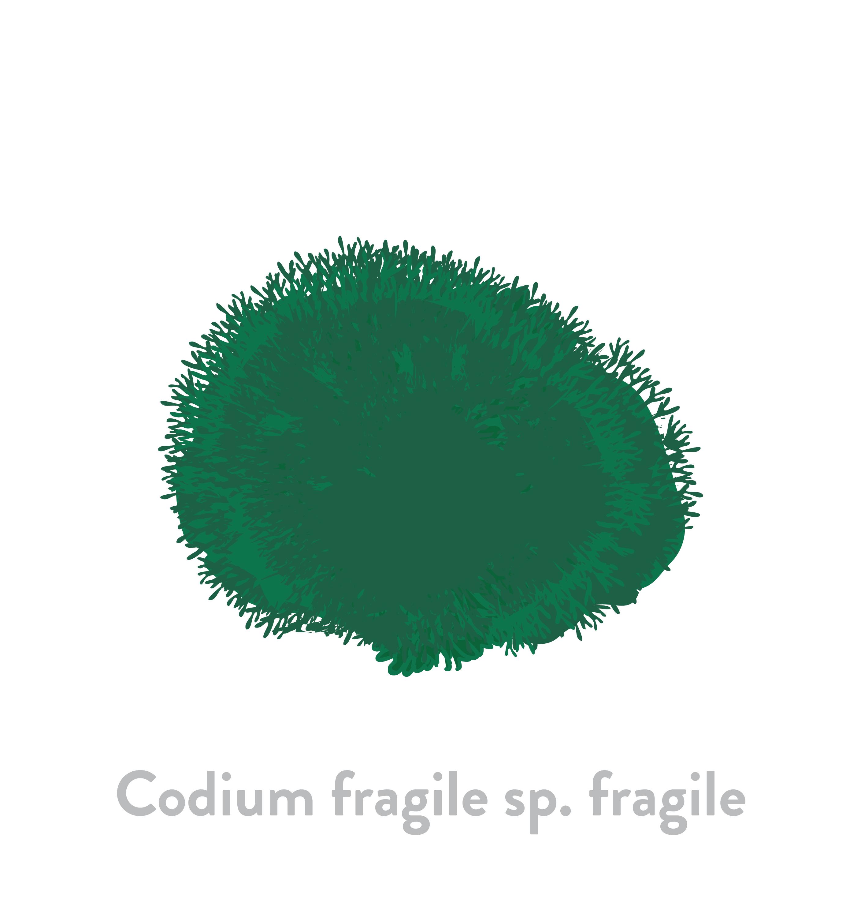Codium fragile sp. fragile