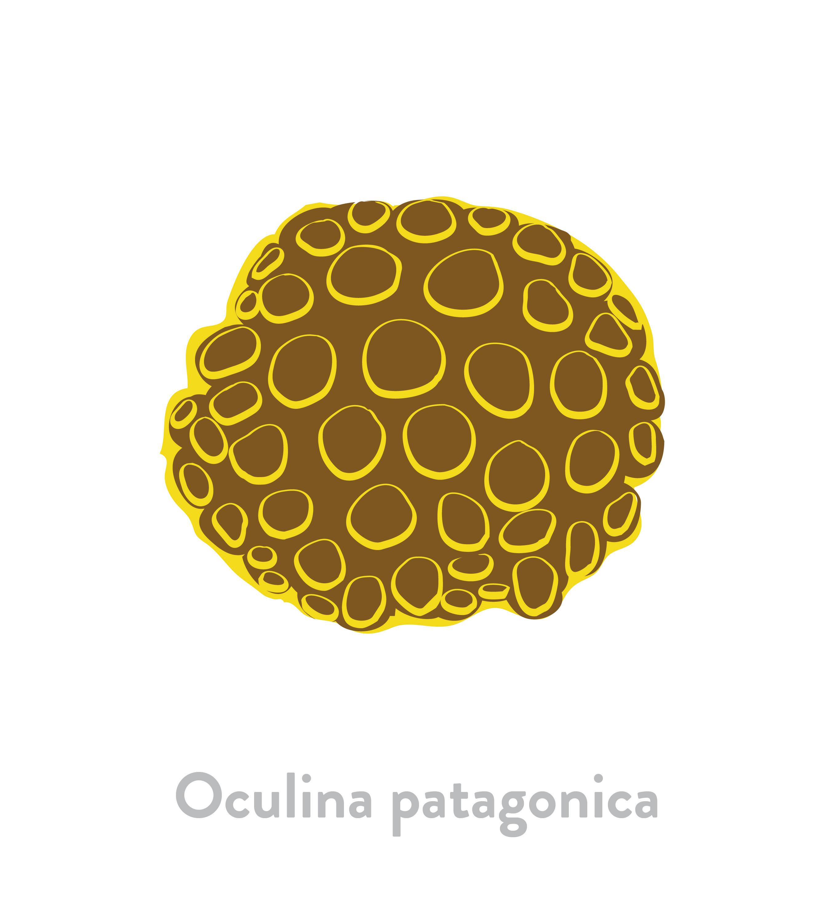 Oculina patagonica
