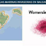 Distribución Womersleyella setacea 2008